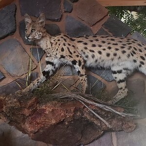 Serval Cat Full Mount Taxidermy