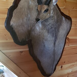 Bushbuck Mount Taxidermy