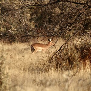 Impala moving about