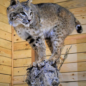 Bobcat Full Mount Taxidermy
