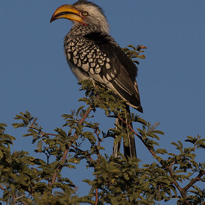 Southern Yellow-billed Hornbill South Africa