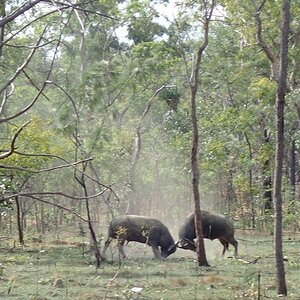 Asiatic Water Buffalo Bulls Australia