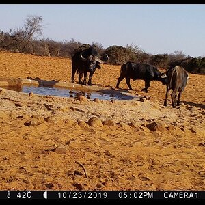 Cape Buffalo Trail Cam Pictures Namibia