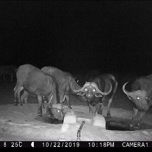 Namibia Trail Cam Pictures Cape Buffalo