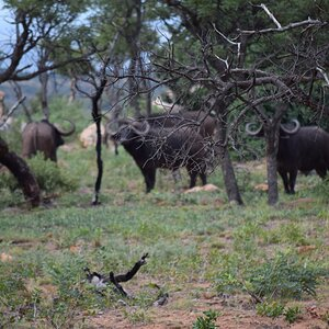 Cape Buffalo sighting South Africa