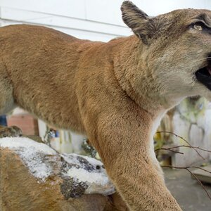 Mountain Lion Special