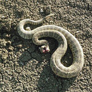 Rattlesnake Hunt USA