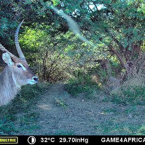 Trail Cam Pictures of Waterbuck in South Africa