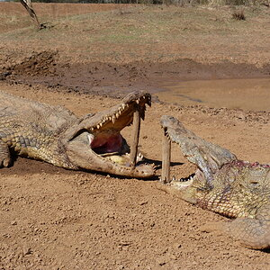 South Africa Hunting Crocodile
