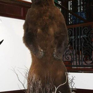 Brown Bear Full Mount Taxidermy