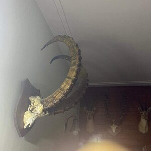 Ibex European Skull Mount Taxidermy