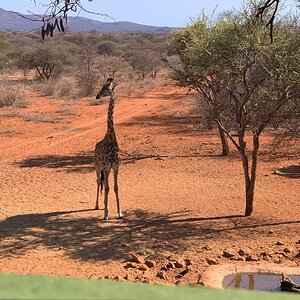 View of Giraffe from Hunting blind