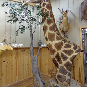 Giraffe Pedestal Mount Taxidermy