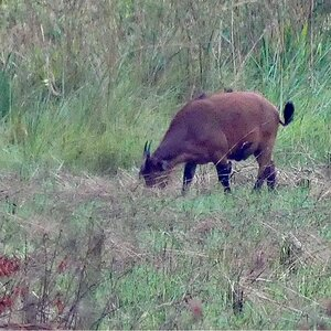 African Forest Buffalo in Congo