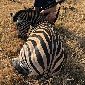 South Africa Hunt Burchell's Plain Zebra