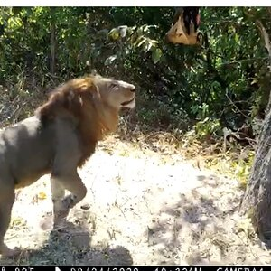 Tanzania Trail Cam Pictures Lion