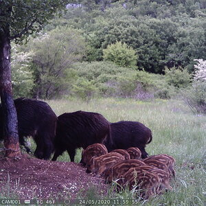 Trail Cam Pictures of Pig Family in Croatia Europe