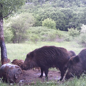 Pig Family Trail Cam Pictures Croatia Europe