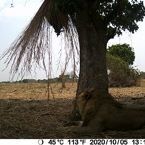 Trail Cam Pictures of Lion in Zambia