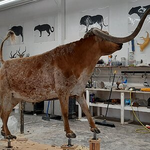 Texas Longhorn Taxidermy Build