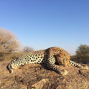 Hunt Leopard in Namibia