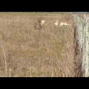 Argentina Hunt Blackbuck