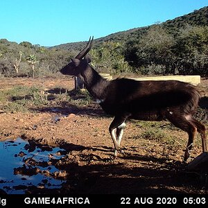 South Africa Trail Cam Pictures Bushbuck