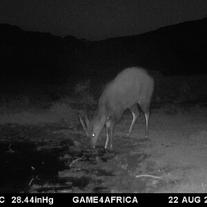 Trail Cam Pictures of Bushbuck in South Africa