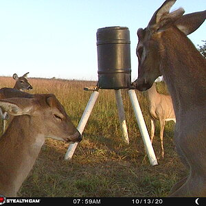 Trail Cam Pictures of Deer in USA