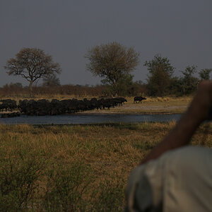 Glassing Buffalo Caprivi Namibia