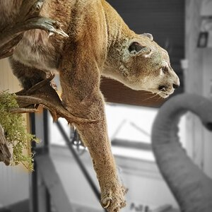 Mountain Lion Full Mount Taxidermy