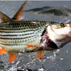 Fishing Tigerfish in Zimbabwe