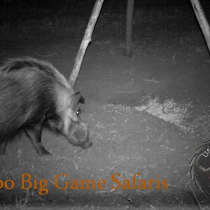 Limpopo Big Game Safaris Bushpig Baiting