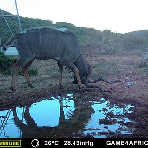 South Africa Trail Cam Pictures Kudu