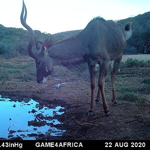 Kudu Trail Cam Pictures South Africa