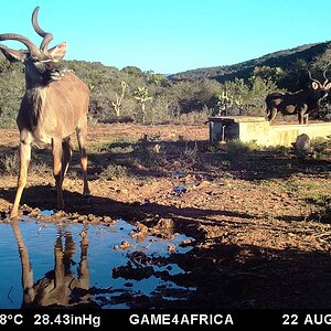 Trail Cam Pictures of Kudu in South Africa