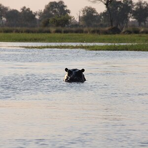 Hippo on Botswana Tour