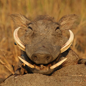 Warthog Guided by Zana Botes
