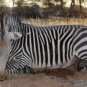 Hartmann Zebra Guided by Zana Botes