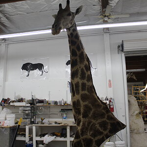 Giraffe Shoulder Mount Build