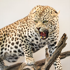 Leopard Full Mount Taxidermy