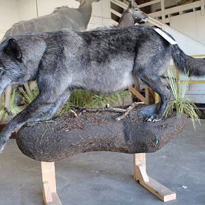 Animal Artistry - Life Size Wolf