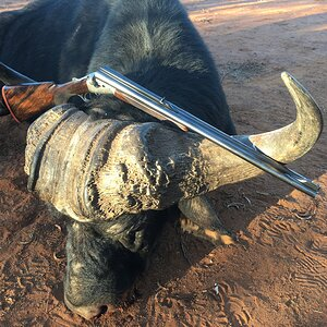Buffalo Hunting South Africa
