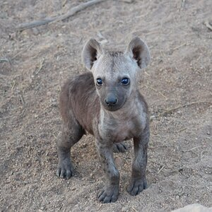 Hyena youngster in the Kruger National Park South Africa