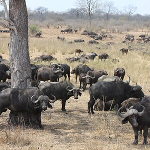 Cape Buffalo in the Kruger National Park South Africa