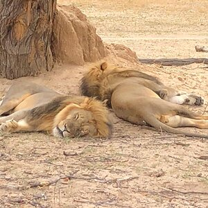 Lions in Zimbabwe