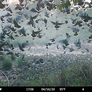 Hundreds of African Green Pigeon