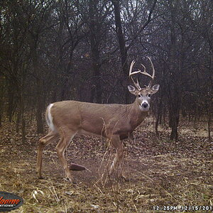 USA Trail Cam Pictures White-tailed Deer