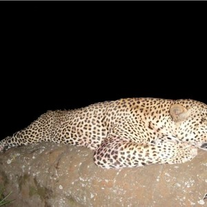 90kg (198 pound) Leopard Hunted in South Africa