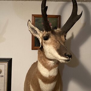 Colorado Pronghorn Shoulder Mount Taxidermy
